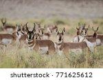 A Herd Of Pronghorn Antelope I...