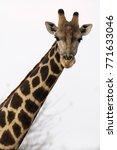 close up of a giraffe against a ... | Shutterstock . vector #771633046