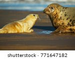 Small photo of Grey Seal female and pup in the shore break (Halichoerus grypus) at Donna Nook UK