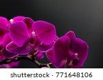 magenta phalaenopsis orchid  | Shutterstock . vector #771648106