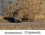 bobcat lynx rufus bosque del...   Shutterstock . vector #771844492