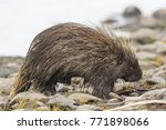 wet north american porcupine... | Shutterstock . vector #771898066