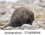 wet north american porcupine... | Shutterstock . vector #771898096