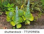 Coteledon Succulent Plants...