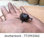 coconut rhinoceros beetle ... | Shutterstock . vector #771941062