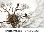Nest of American bald eagles with eagles on nearby branches - stock photo