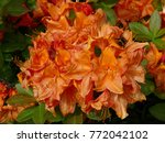 Bee On An Orange Rhododendron