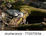 a grey heron  ardea cinerea  in ...   Shutterstock . vector #772073536