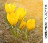 yellow crocus flower   Shutterstock . vector #772074445