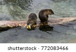 Two Beaver Resting On A Piece...