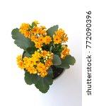 Small photo of Kalanchoe plant with orange flowers, Kalanchoe blossfeldiana