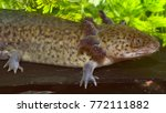 Small photo of Ambystoma mexicanum (axolotl), a neotenic salamander closely related to the tiger salamander (Ambystomatidae)