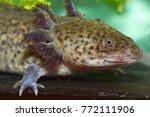 Small photo of Ambystoma mexicanum (axolotl), a neotenic salamander closely related to the tiger salamander (Ambystomatidae)