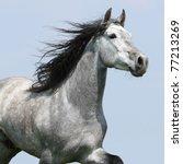 Stock photo carthusian horse isolated on blue background 77213269