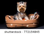 Stock photo miniature dog breed yorkshire terrier with an elastic band on his hair sits in his couch isolated 772154845