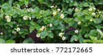 Strawberry Plant. Blossoming ...