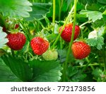 strawberry plant. wild... | Shutterstock . vector #772173856