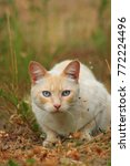 Stock photo white and red hungry cat is hunting on grass in autumn field white cat prepares to jump on 772224496