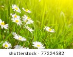 Beautiful Daisies On A...