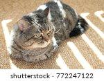 Stock photo beautiful curious scottish wildcat felis silvestris grampia lying and relaxing in sunlight three 772247122