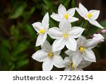 Bunch of potato vine flowers with one in focus and a soft focus green leaf background - stock photo