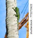 Wild Green Iguana Climbing A...