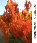 Small photo of Close up Celosia, Plumed celosia, Wool flower, Red fox