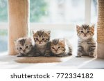 Stock photo group persian kittens sitting on cat tower 772334182