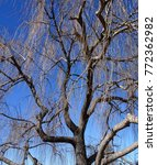 A Winter Weeping Willow Tree...