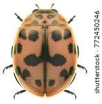 Small photo of Ladybug (ladybird), Harmonia sp. (Coleoptera: Coccinellidae) isolated on a white background