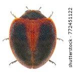 Small photo of Ladybug (ladybird), Rodolia sp., (Coleoptera: Coccinellidae) isolated on a white background