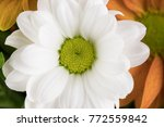 camomile flower close up | Shutterstock . vector #772559842
