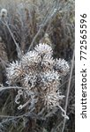 Small photo of Agrimony in frost