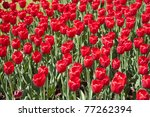 multitude of big red tulips on... | Shutterstock . vector #77262394