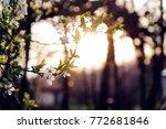 fresh cherry blossoms | Shutterstock . vector #772681846