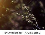 fresh cherry blossoms | Shutterstock . vector #772681852