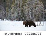 big brown bear photographed in... | Shutterstock . vector #772686778