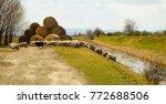 sheep flock  haystack  grass... | Shutterstock . vector #772688506