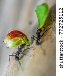 Small photo of Ants - Team Work