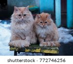 Two Red Fluffy Stray Cat With...