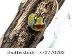 the coppersmith barbet  crimson ...   Shutterstock . vector #772770202