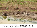 water buffalos are laying clay... | Shutterstock . vector #772891912