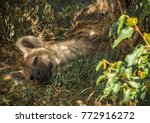image of red hyena in masai... | Shutterstock . vector #772916272