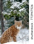 young lynx in winter forest   Shutterstock . vector #772947526