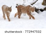 beautiful wild lynx in winter...   Shutterstock . vector #772947532