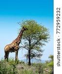 a giraffe from kruger park | Shutterstock . vector #772959232