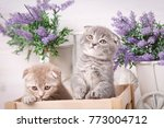 interesting scottish kittens....   Shutterstock . vector #773004712
