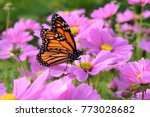 the monarch butterfly with... | Shutterstock . vector #773028682