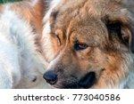 portrait of a cute big dog   Shutterstock . vector #773040586