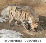 striped hyena  hyaena hyaena  | Shutterstock . vector #773048536